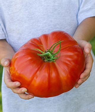 Tomato, SteakHouse Hybrid, , large
