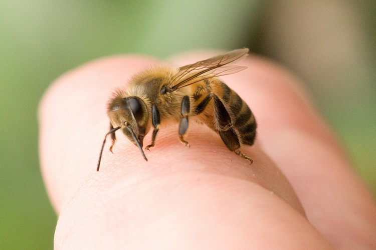 A Personal Experience with Bee Stings and Essential Oils