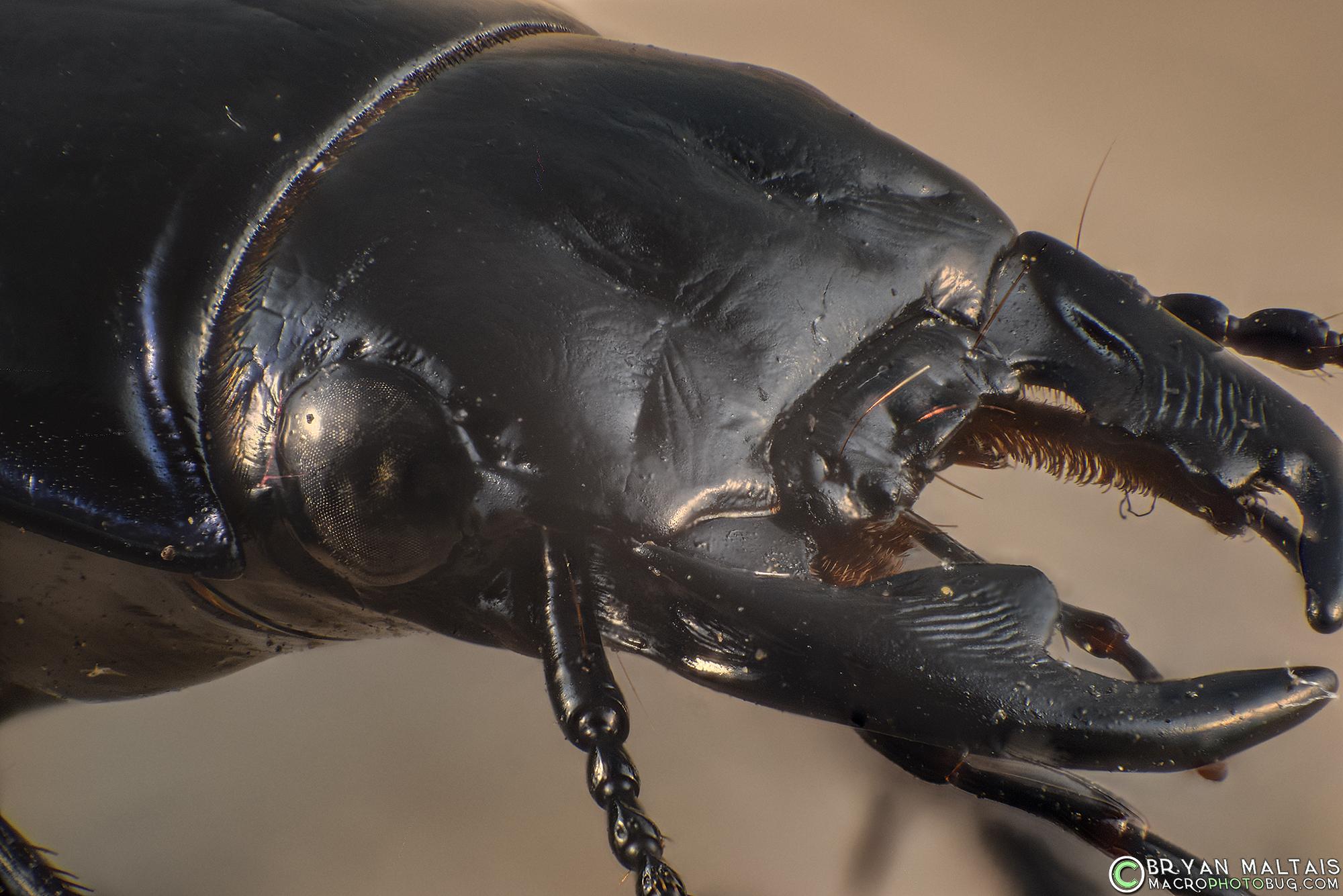 ground beetle head 18-55 at 18