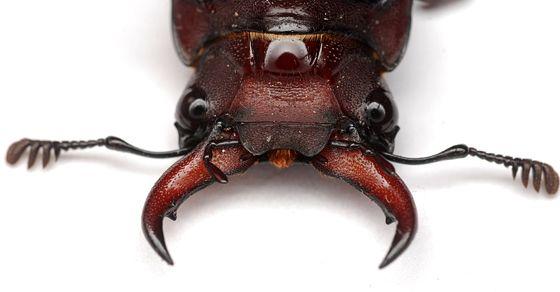 beetle head - Google Search