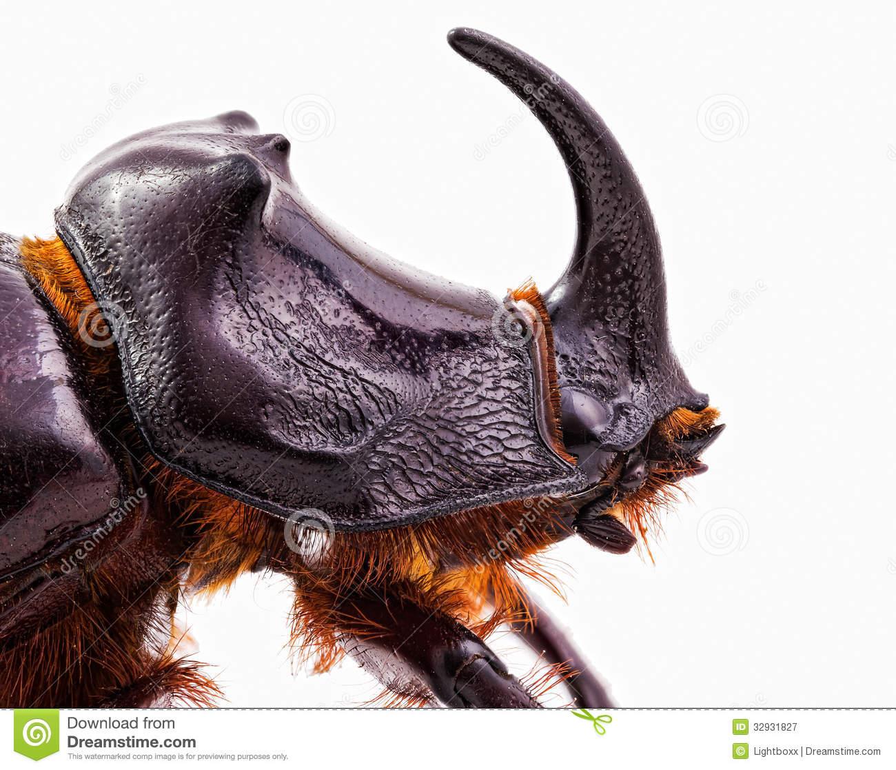 Rhinoceros beetle head