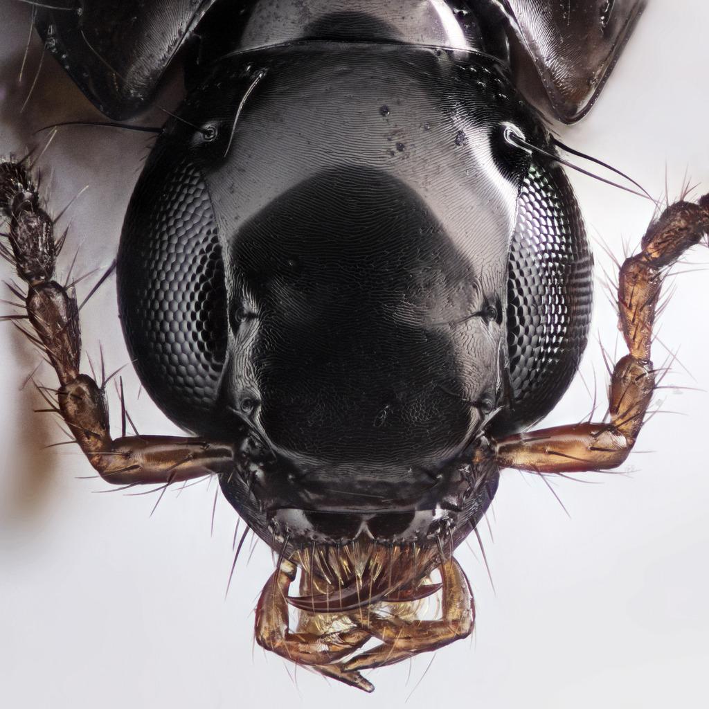 beetlehead