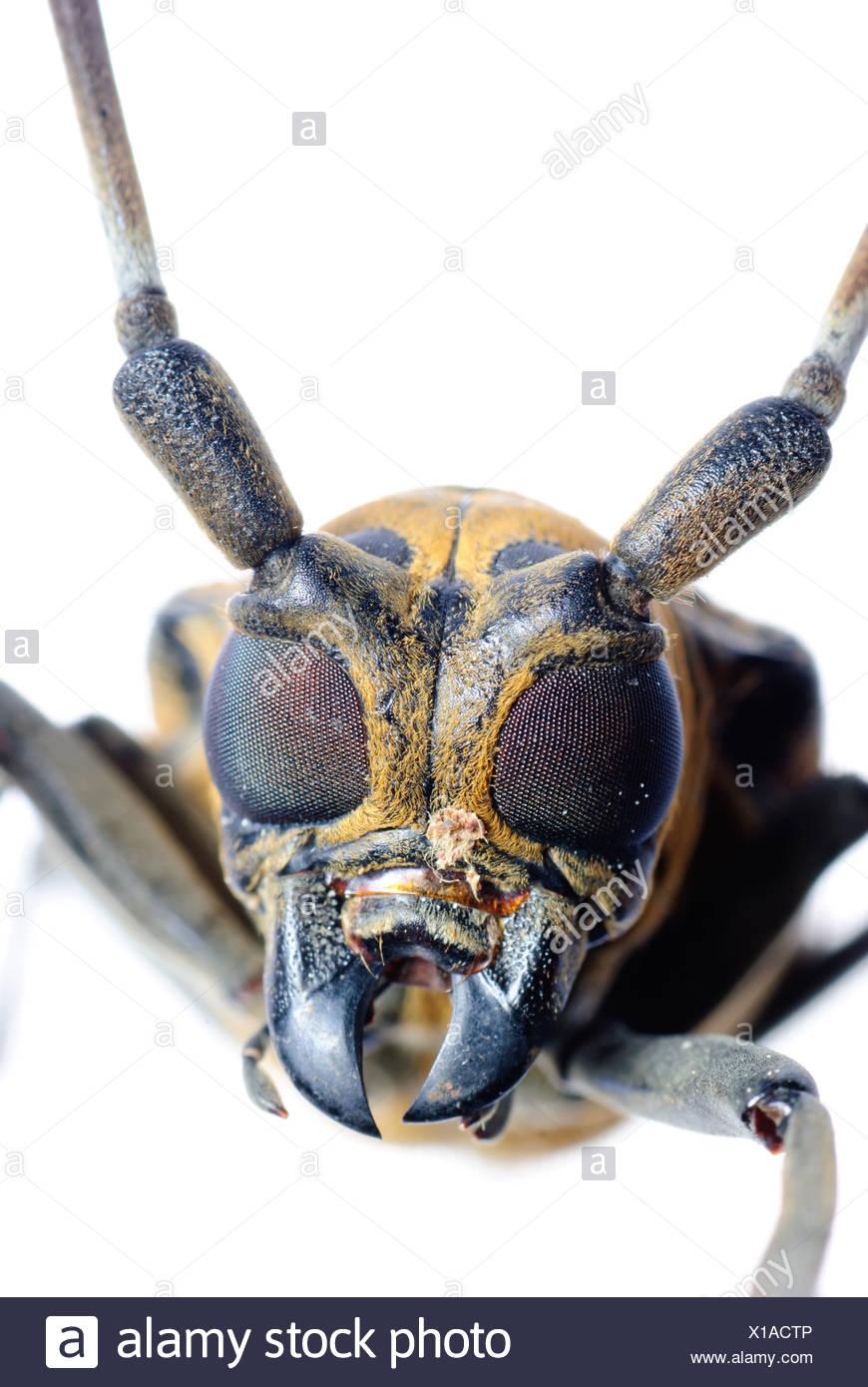 Insec escarabajo cuerno largo Imagen De Stock