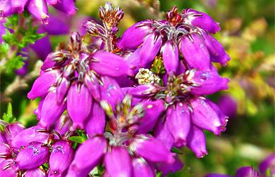 Bell Heather - Erica cinerea - Western Isles Pink Wildflowers