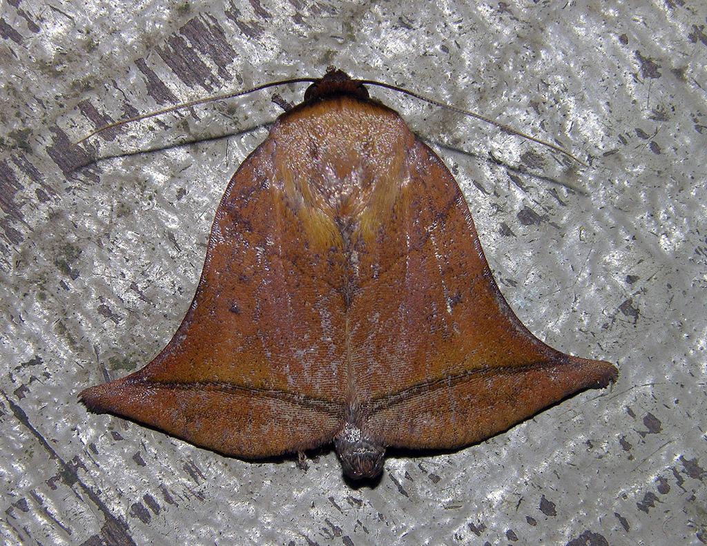 Bell moth (Diehlea ducalis), Nolidae, Chloephorinae, Careini | by  Arthur Anker