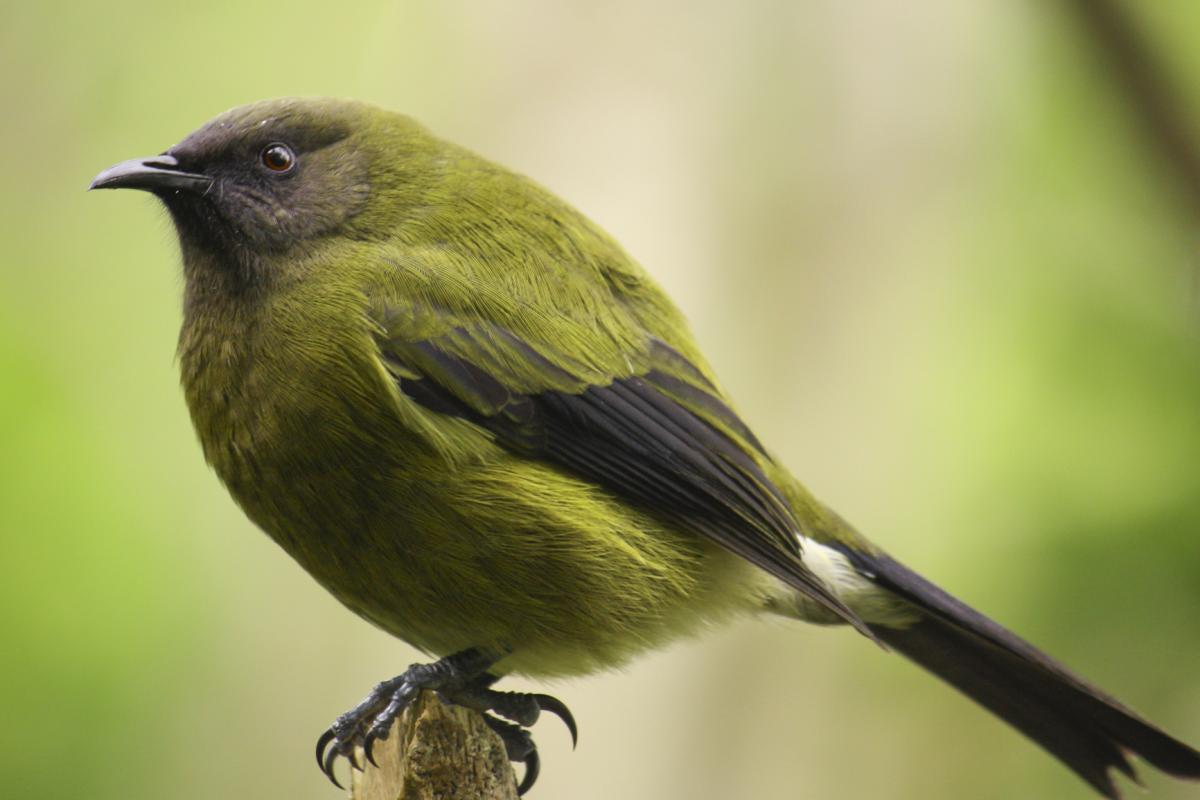 Bellbird. Adult male. Tiritiri Matangi Island, April 2009.