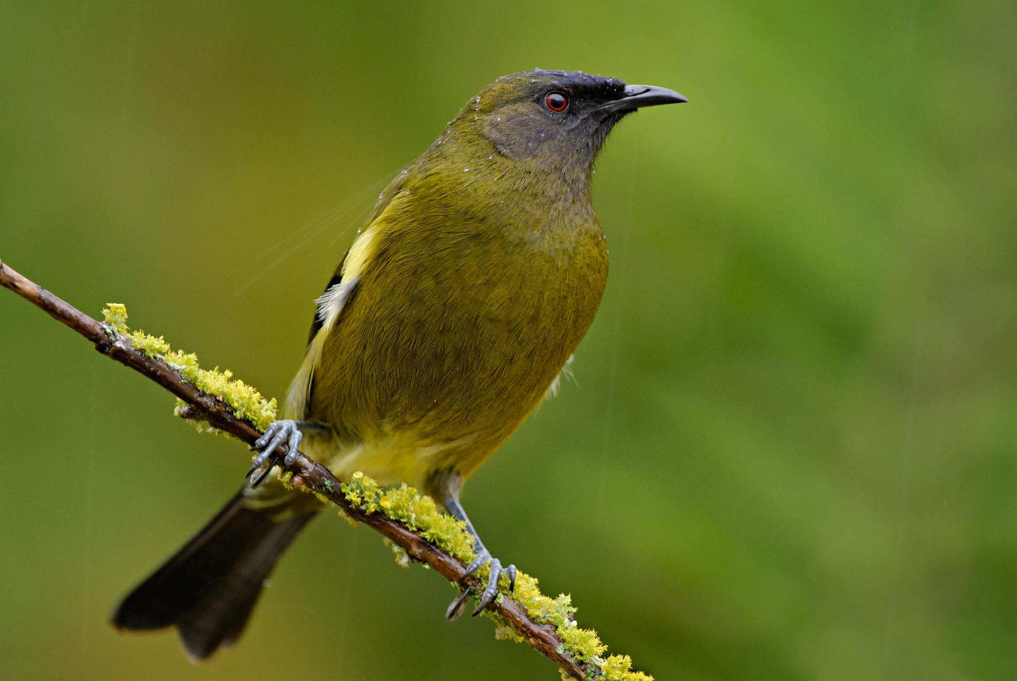 Bellbird. Adult male. Dunedin, July 2009. Image © Craig McKenzie by