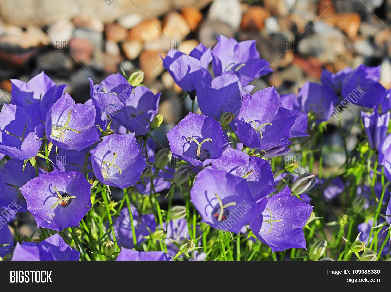 Bellflower (Campanula carpatica) - plant species of the genus Campanula,  family Campanulaceae