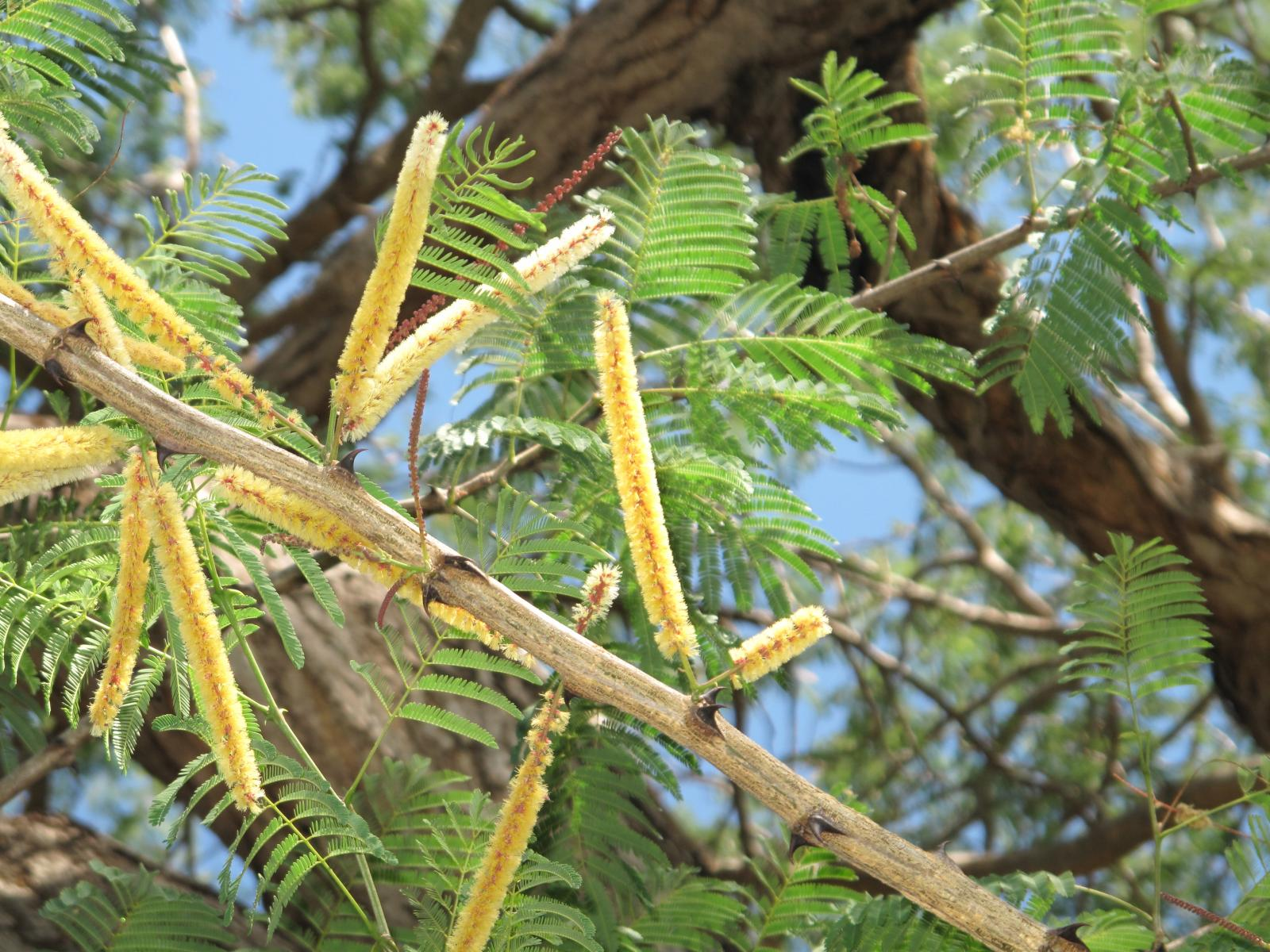 Black cutch (Acacia catechu), flowers