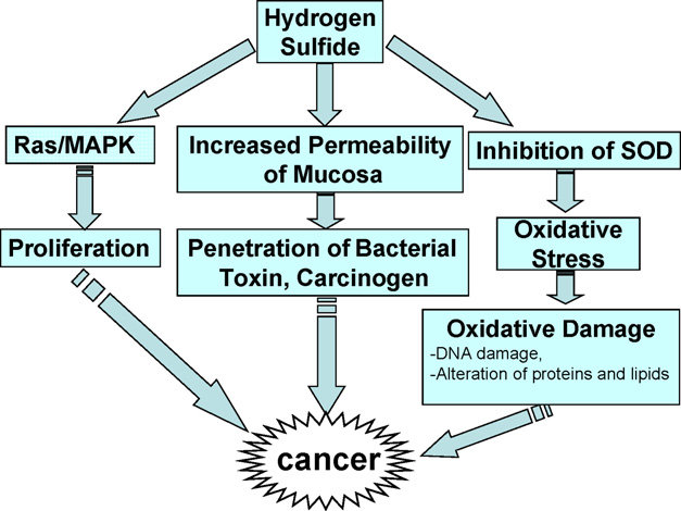Possible mechanisms of carcinogenicity of H 2 S [26,45-50].