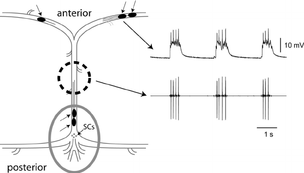 The crustacean cardiac ganglion. When dissected from the animal, the cardiac  ganglion can be pinned flat and simultaneous recordings of network activity  and