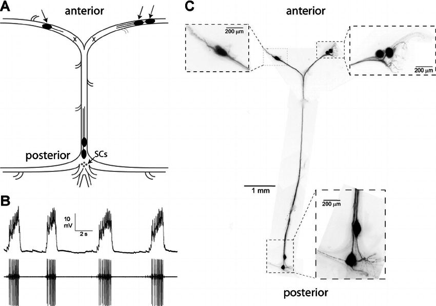 The crustacean cardiac ganglion as a model system. A : schematic showing  the location of the 5 large cell (LC) motoneurons (black ovals), with the  anterior