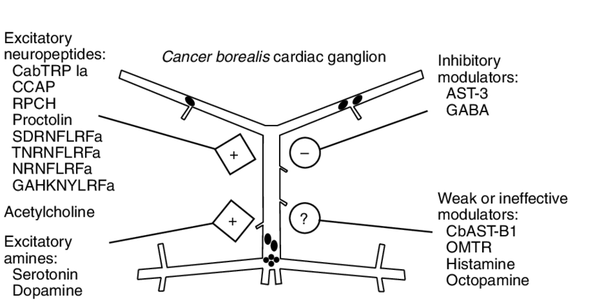 Diagram of the C. borealis cardiac ganglion with neuromodulators present in  the pericardial organs. The excitatory actions (+) of peptides, serotonin,
