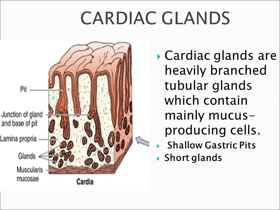 cardiac gland