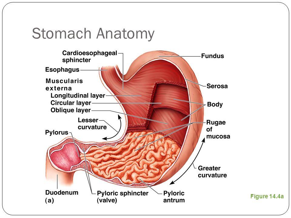 5 Stomach Anatomy Figure 14.4a