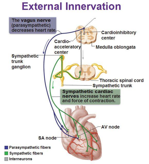 external innervation heart vagus nerve, visceral sensory fibers,  interneurons, cardioacceleratory center, cardioinhibitory center