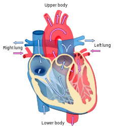 Heart diagram blood flow en.svg
