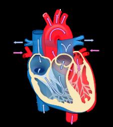Heart diagram blood flow en.svg