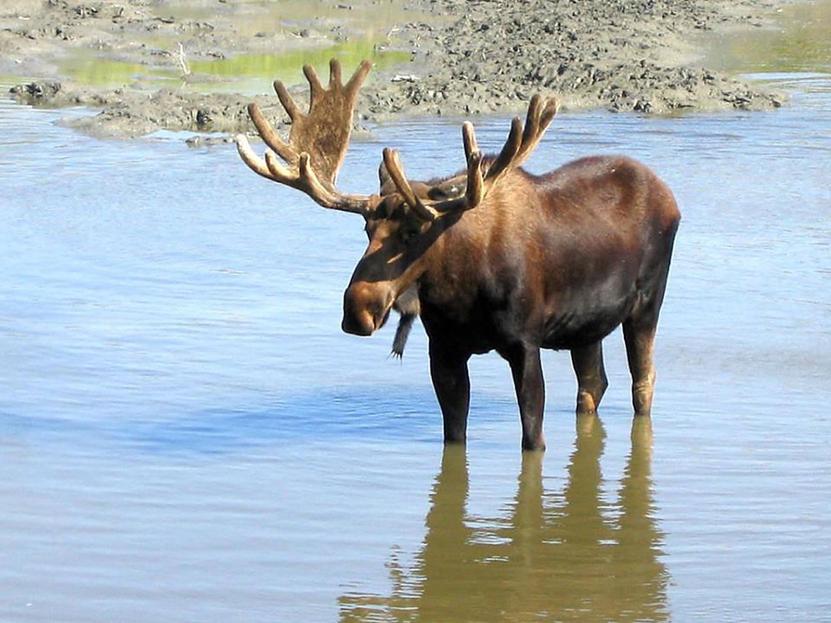 Ministry not planning ban on LEH moose hunt in Cariboo Chilcotin – Williams  Lake Tribune