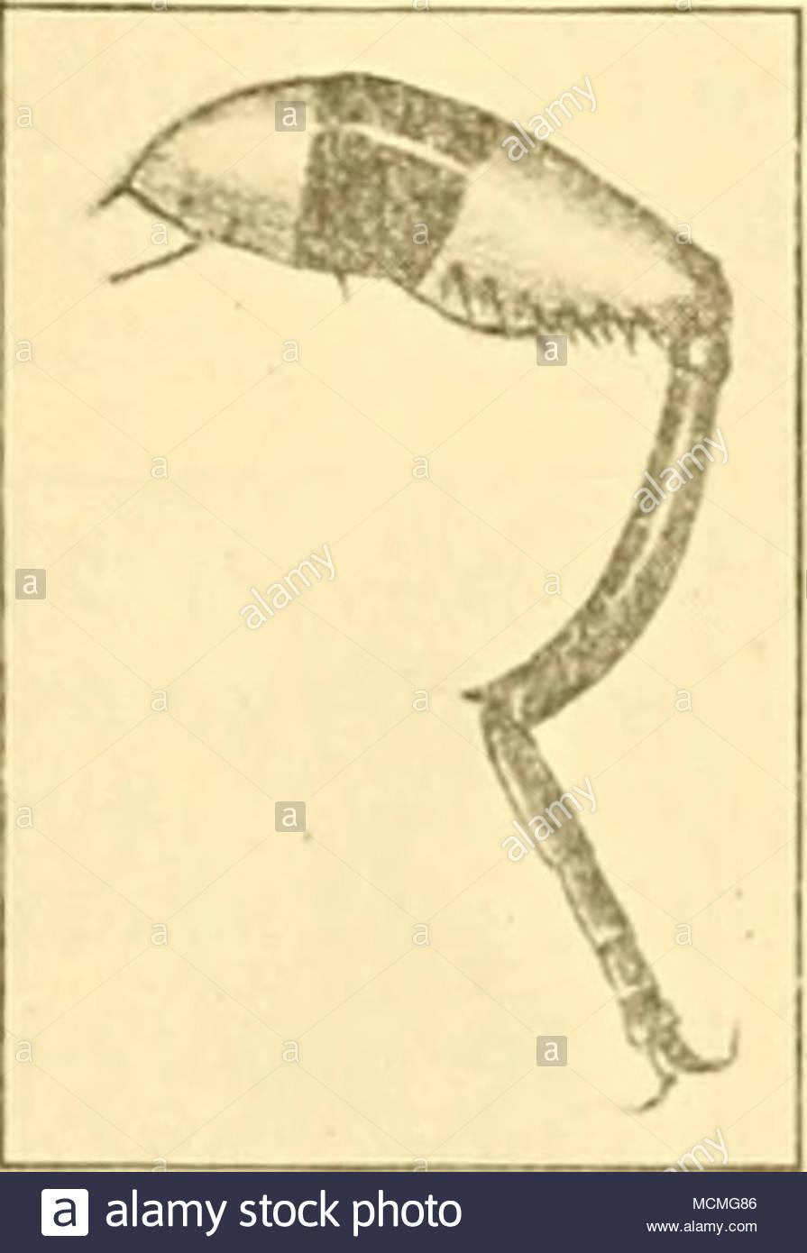 Bruu., enlazar la pierna. corta pubescencia de color amarillo  brillante, de los cuales hay también un poco en los ángulos basales del  abdomen.