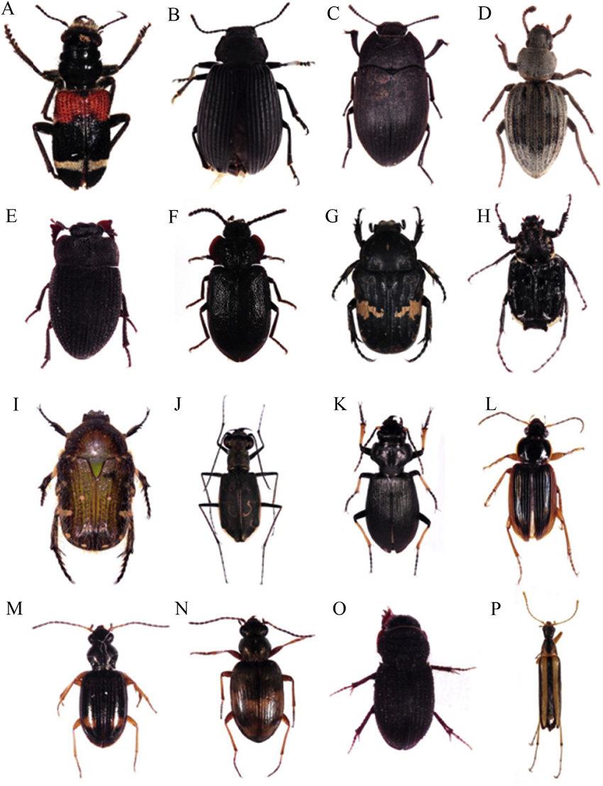 A, Thanassimus lewisi Jacobson; B, Heterotarsus carinula Marseul; C,  Gonocephalum pubens Marseul; D, Idisia ornata Pascoe; E, Caedius marinus  Marseul; F,