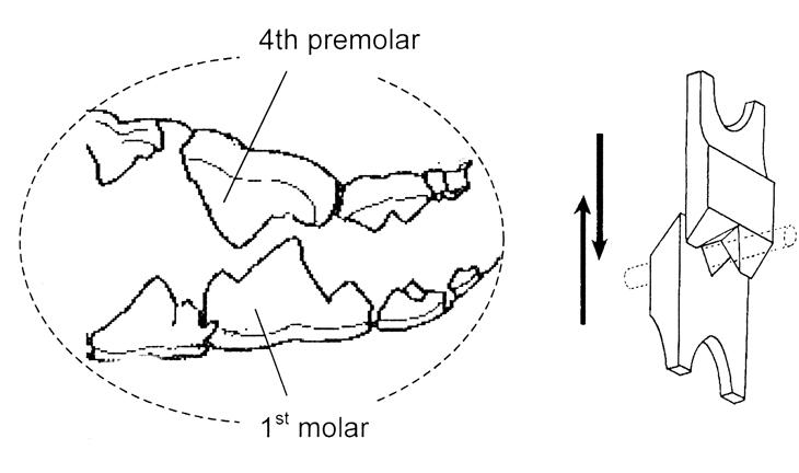 Carnassial teeth