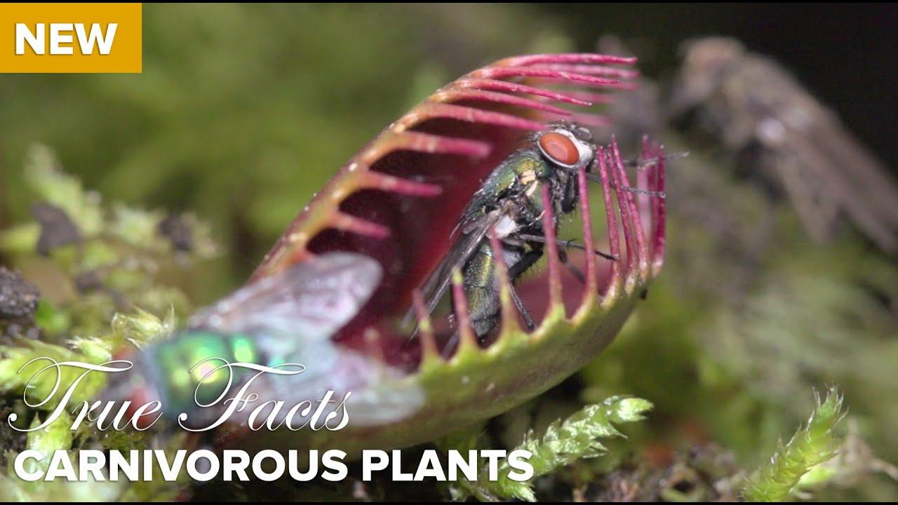 True Facts : Carnivorous Plants