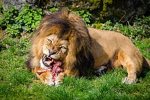 Lions are obligate carnivores, requiring animal flesh for their nutritional  requirements