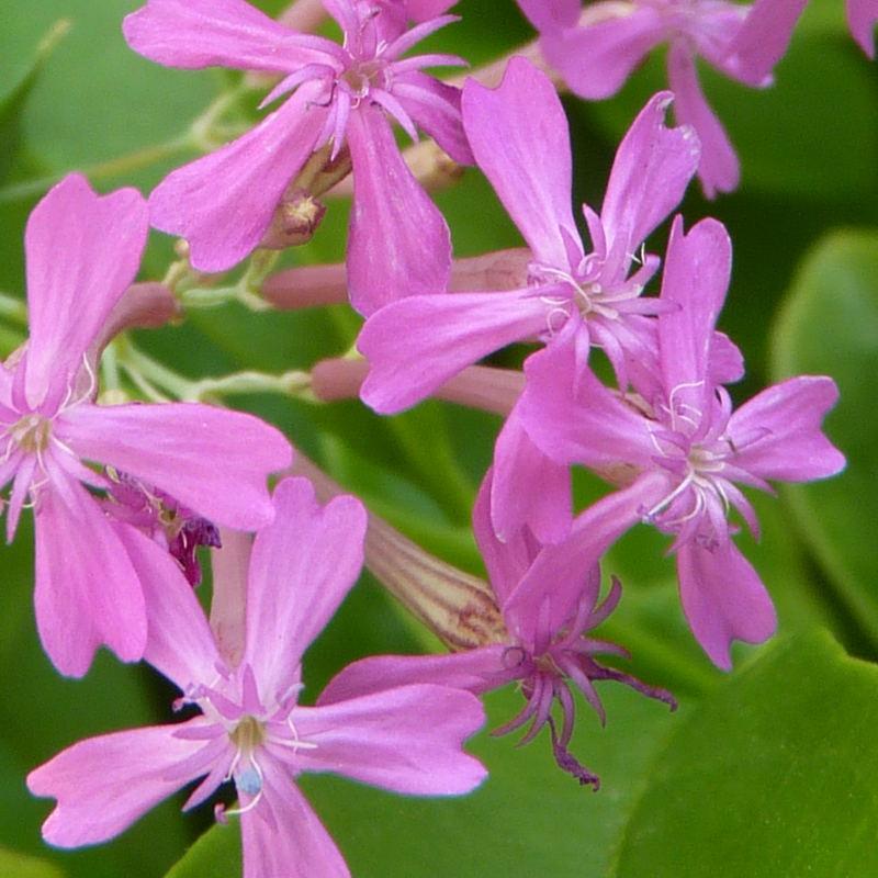 silene armeria caryophyllaceous flower