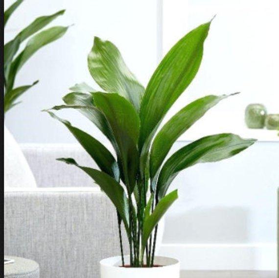 CAST IRON PLANT Aspidistra Elatior Easy Any light Live Plant
