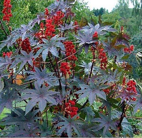 Traveller Location : Gibson Castor Bean 10 Seeds - Ricinus gibsonii -Compact : Tree  Plants : Garden & Outdoor