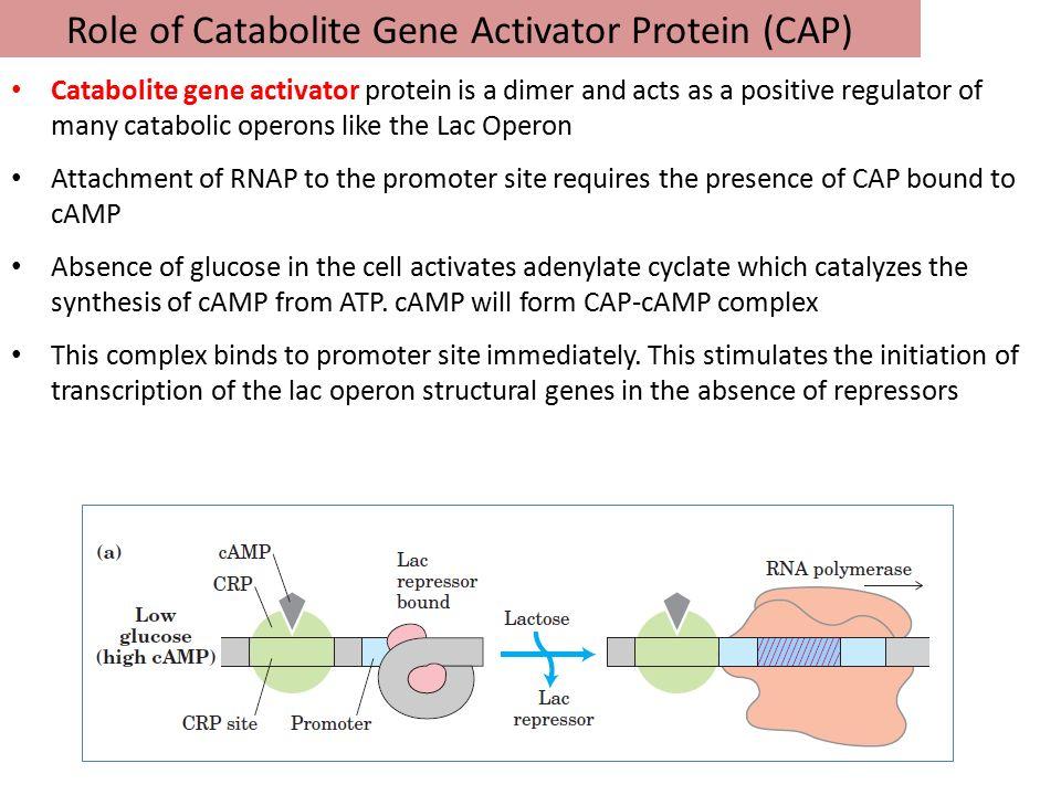 Role of Catabolite Gene Activator Protein (CAP)