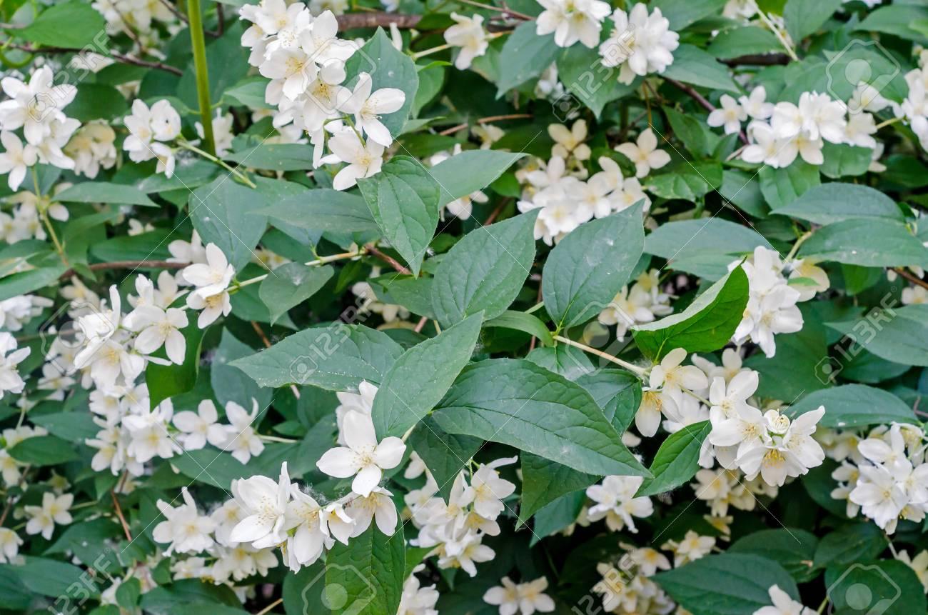 Jasminum grandiflorum, also known variously as the Spanish jasmine, Royal  jasmine, Catalonian jasmine