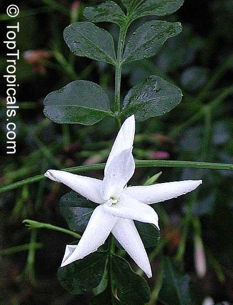 Jasminum officinale Flore pleno, Jasminum viminale, Jasminum vulgatum,  Jasminum affine, True Jasmine