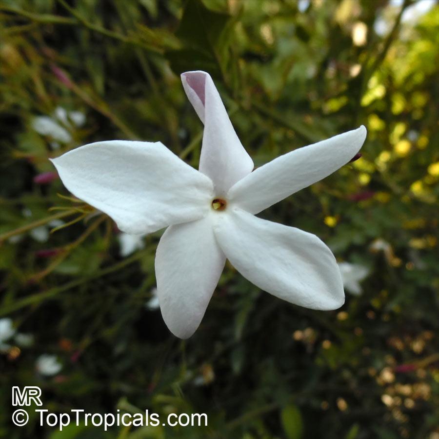 Jasminum officinale grandiflorum, Jasminum viminale, Jasminum vulgatum,  Jasminum affine, True jasmine,