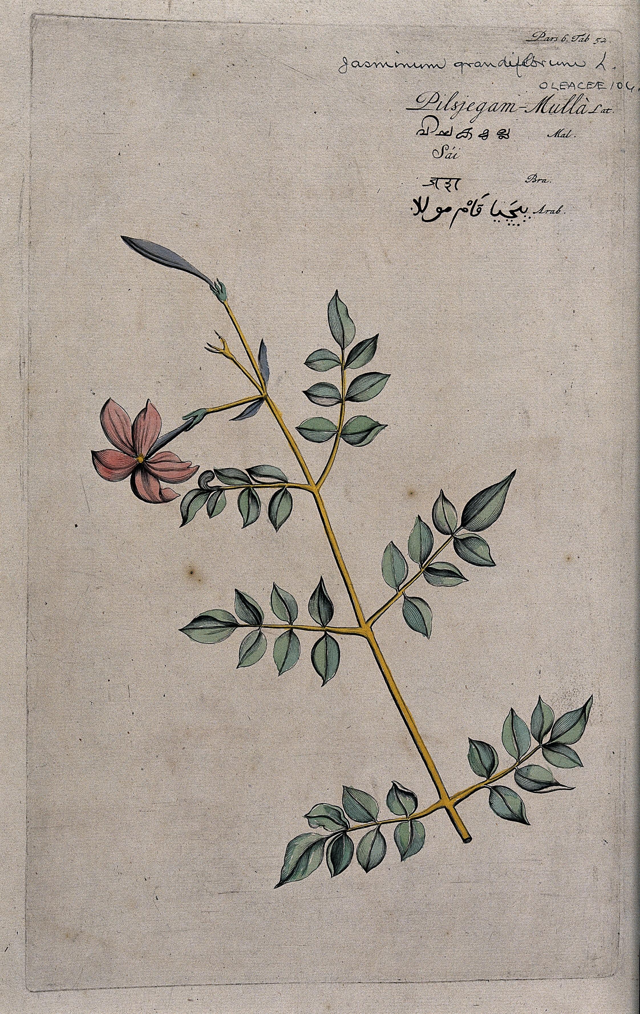 File:Catalonian jasmine or Spanish jasmine (Jasminum grandiflorum Wellcome  V0042673.jpg