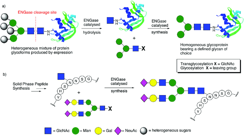 The use of ENGases to catalyse: (a) glycoprotein remodelling; (b)