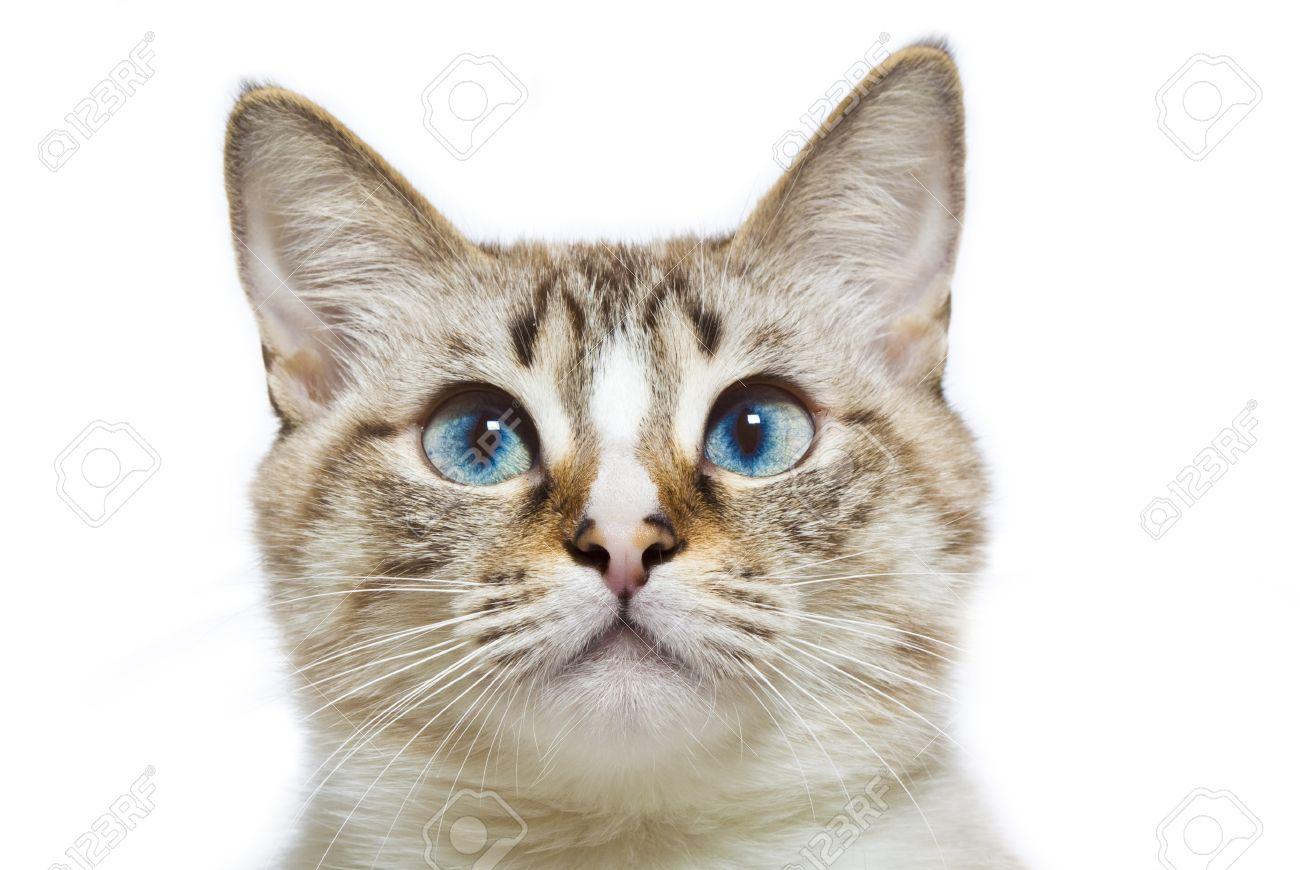 blue eyed cat head Stock Photo - 21878351