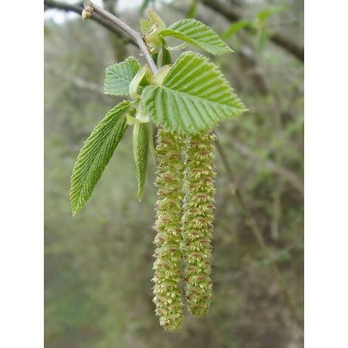 Catkin Flower plant