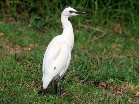 Cattle Egret Juvenile