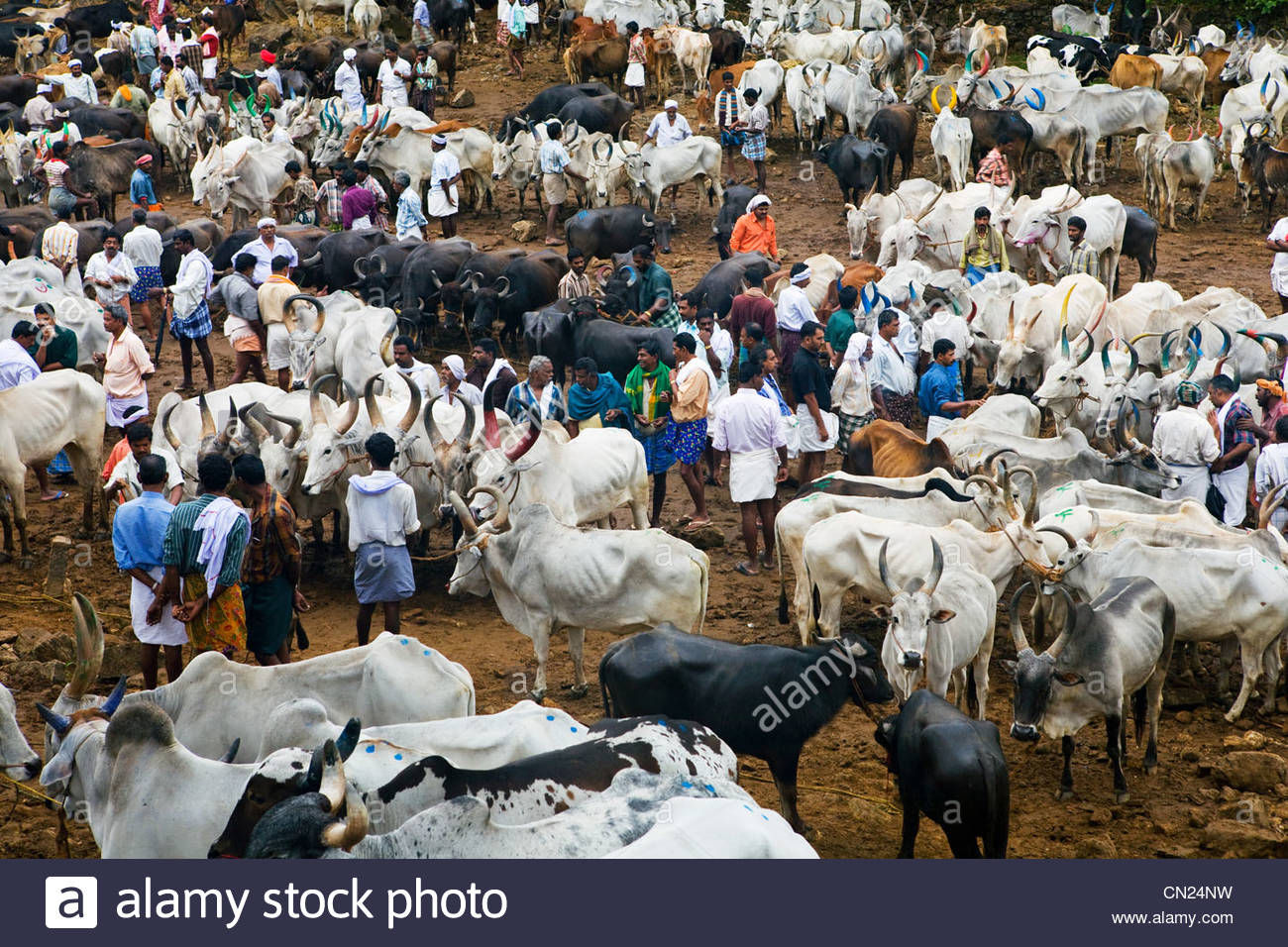 Cattle market, Kerala, India - Stock Image