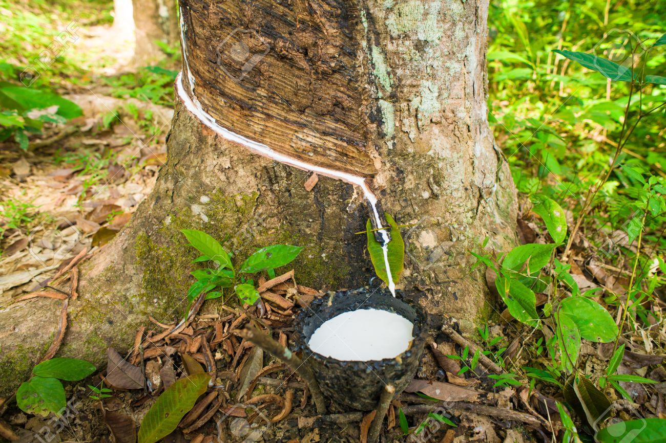 Al tocar látex de un árbol de caucho en Tailandia Foto de archivo - 25559190