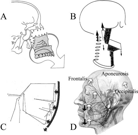 (A) Displayed is the ventral and caudad growth direction of the  ethmomaxillary complex Illustration