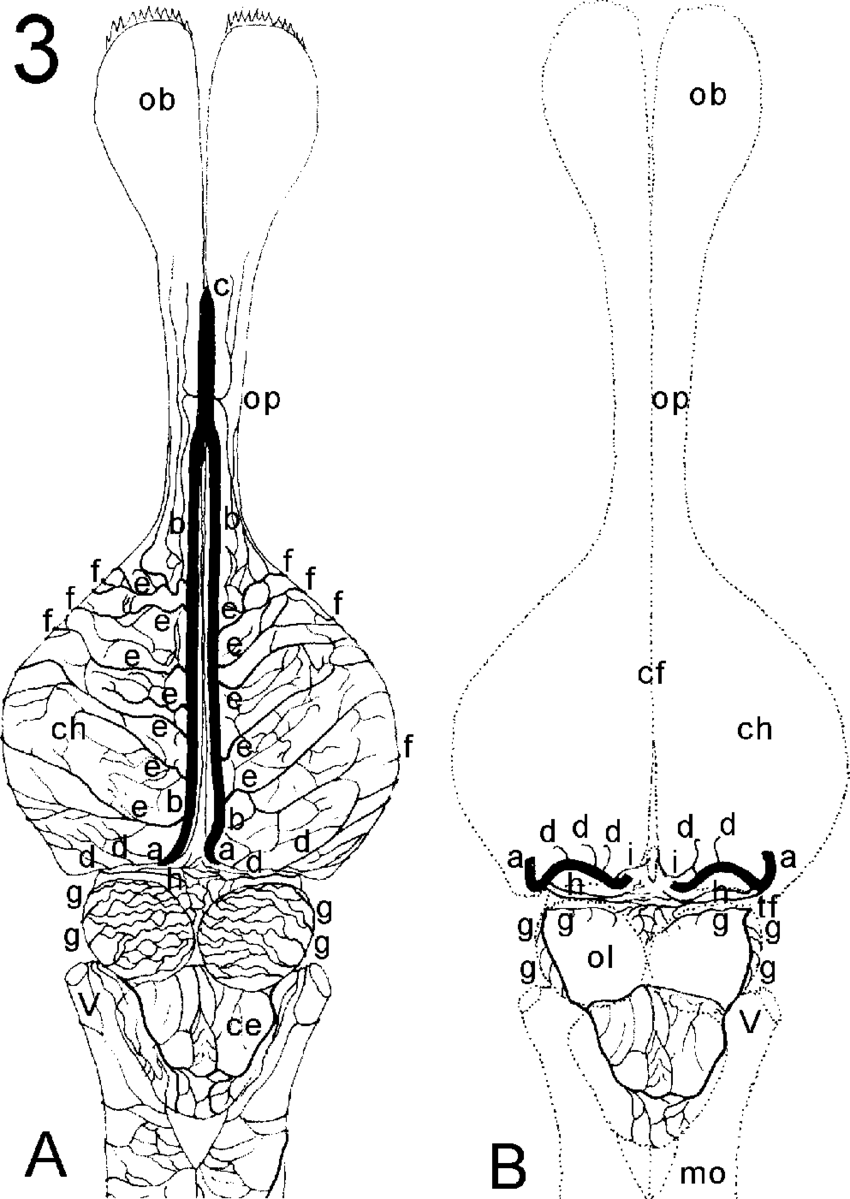 Schematic drawing in a dorsal view (A) of the arteries inside the cerebral transverse  fissure (B) in Caiman brain. (a) caudal cerebral artery;