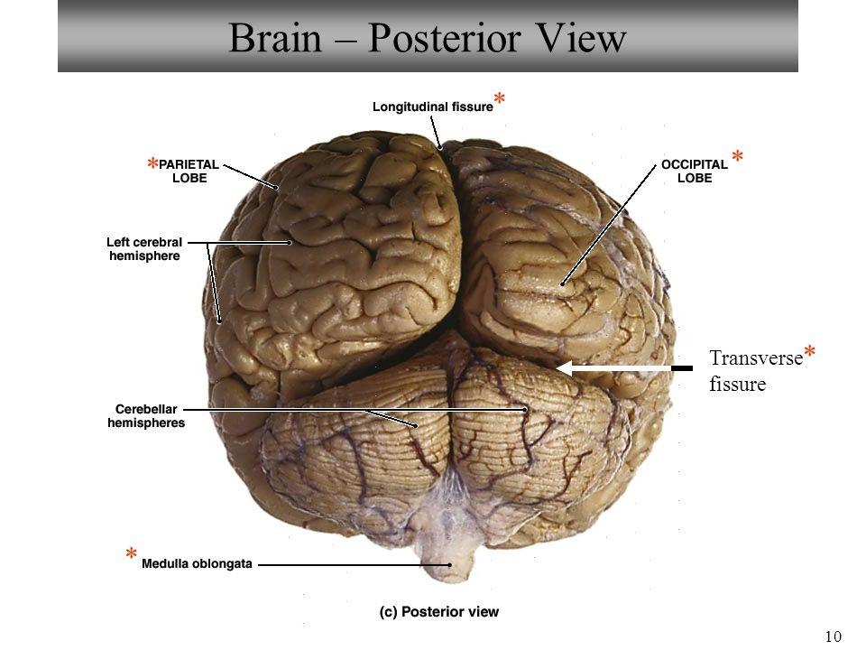 10 Brain – Posterior View * * * * Transverse fissure *