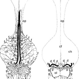 Schematic drawing in a dorsal view (A) of the arteries inside the cerebral  transverse