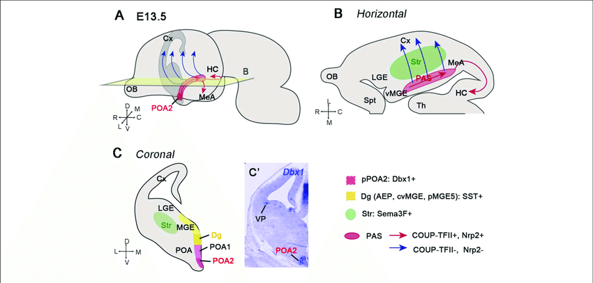 GABAergic neurons generated from the POA2 region migrate caudally through  the posterior amygdala stream (PAS). (A) Illustration of a whole embryonic  brain