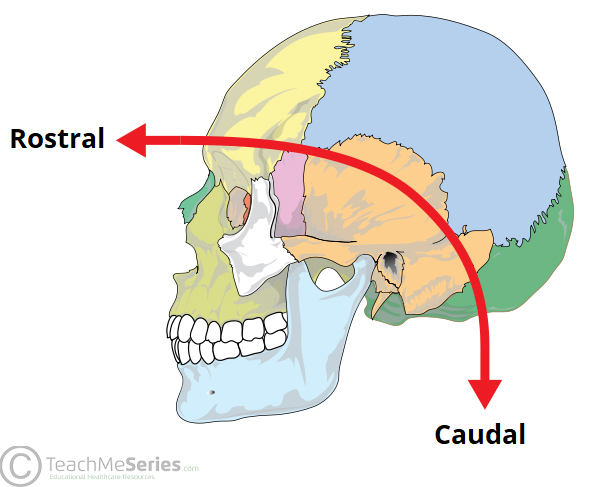 Fig 2 – In this context, rostral and caudal are only used to describe  neuroanatomy in the head.