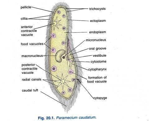 Paramecium caudatum