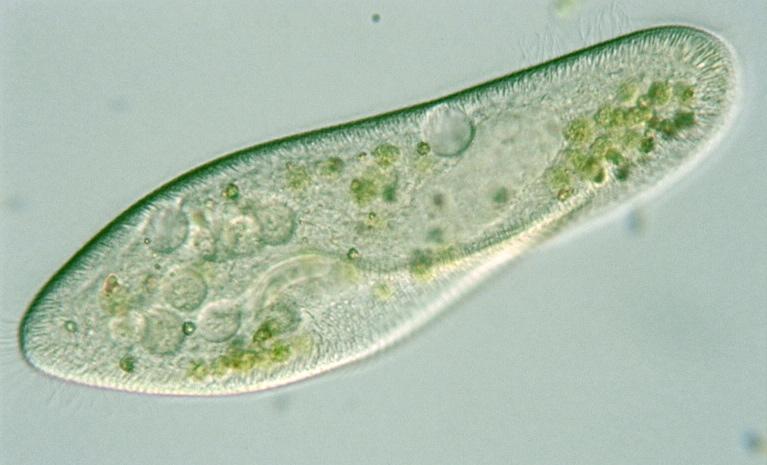 Paramecium caudatum intact cells